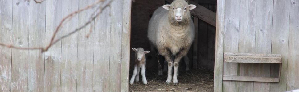 Chilmark Tavern Sheep